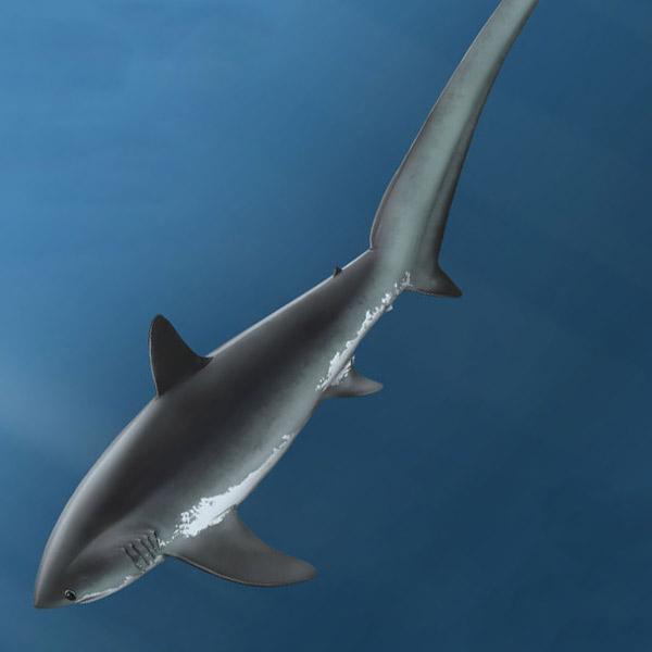 лисья акула, охота, поведение, Акулы размахивают хвостом, чтобы оглушить жертву