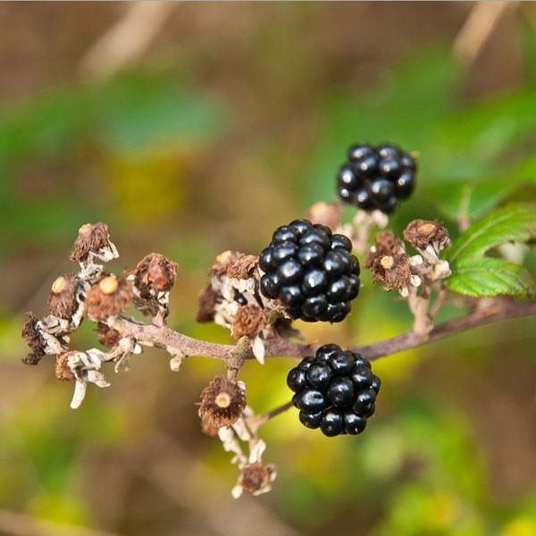 BlackBerry, Закат BlackBerry