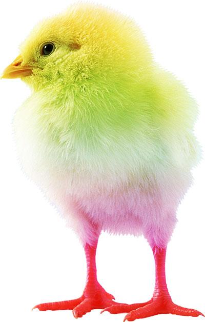 цветной цыпленок