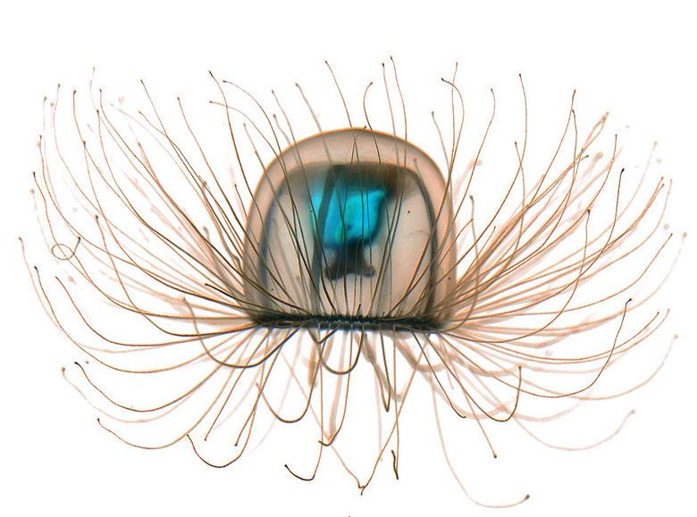 Turritopsis nutricula Медуза