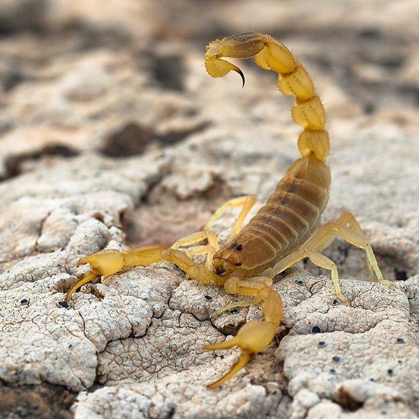 яд,рак,скорпион, Яд скорпиона – индикатор присутствия раковых клеток