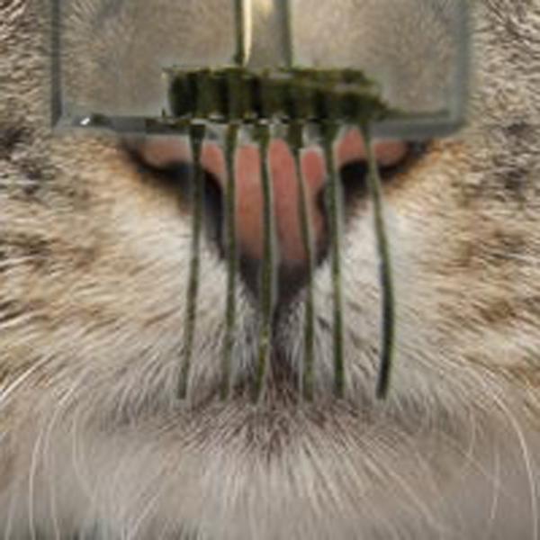 DARPA, Электронные усы подарят роботам кошачьи суперчувства