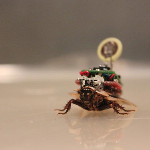 RoboRoach, таракан, Наступает эра управляемых тараканов-шпионов