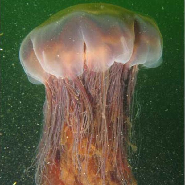 медуза,фауна, Огромную медузу выбросило на берег Австралии