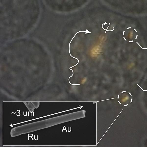 клетка, нанодвигатель, наночастица, Нанодвигатели, контролируемые внутри живых клеток человека