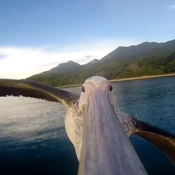 GoPro, птицы, Пеликан с GoPro на клюве заснял красоты Танзании