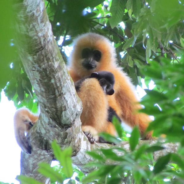 биология, фауна, гиббон, экология, экосистема, Редкие приматы на грани вымирания