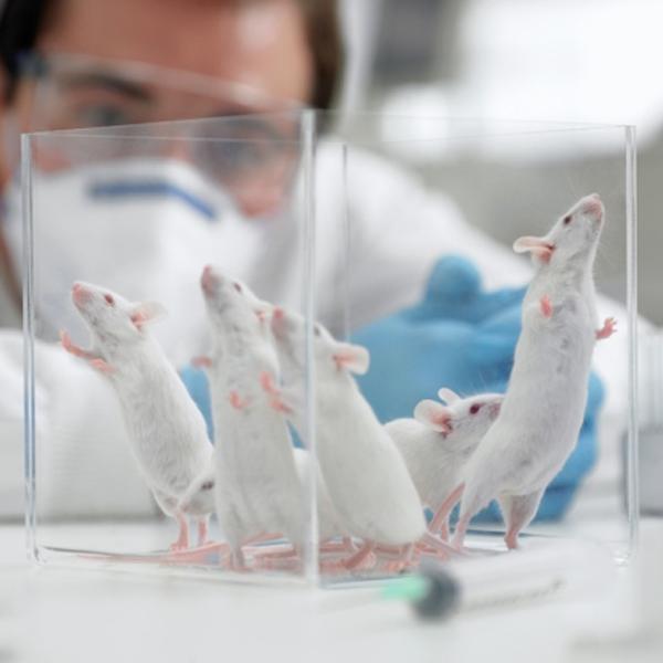 исследование,мышь,гормоны, Ученые-мужчины вызывают у мышей стресс