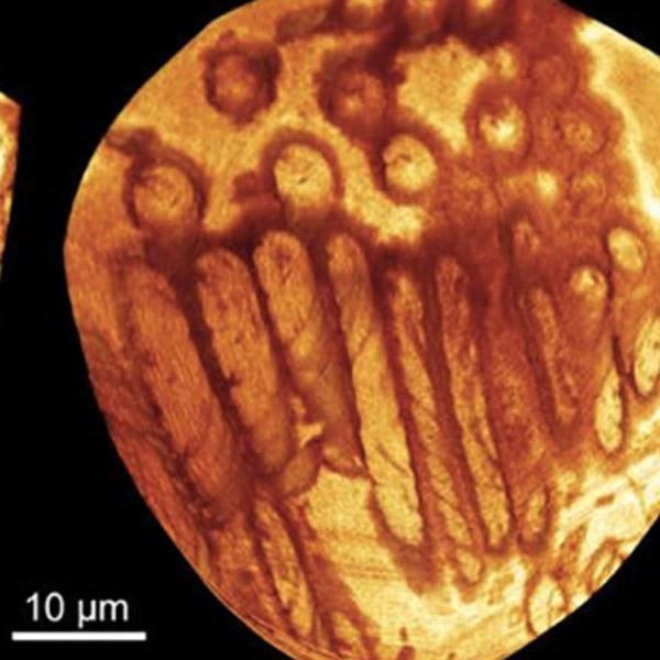 археология, Обнаружена гигантская сперма, которой 17 млн лет